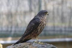 faucon Nouvelle Zélande Image stock