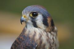 Faucon ou Hawk Head de Brown Photos libres de droits