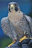 Faucon pérégrin photo stock