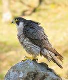 Faucon pérégrin. Photographie stock libre de droits