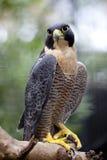Faucon pérégrin Image libre de droits