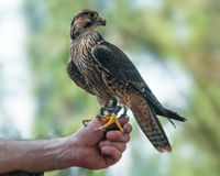 Faucon pérégrin non mûr sur le falconer& x27 ; main de s Image stock