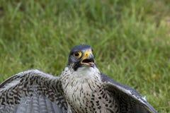 Faucon pérégrin (peregrinus de faucon) Images stock