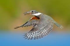 Faucon, pierre verte de mousse Oiseau de proie Peregrine Falcon se reposant sur la pierre avec la scène orange de faune de forêt  Images libres de droits
