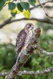 faucon Pointu-shinned été perché sur une branche d'arbre nue image libre de droits