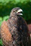 Faucon pour la chasse Image libre de droits