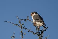Faucon pygméen africain, Namibie Photographie stock