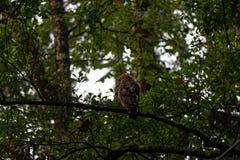faucon Rouge-épaulé sur la branche Photo stock