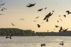 Faucon rouge Photo libre de droits