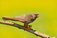 faucon Rouge-aux pieds, vespertinus de Falco, oiseau se reposant sur la branche avec le fond vert clair, plumage de nettoyage, pl image stock