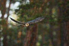faucon Rouge-aux pieds - vespertinus de Falco - vol dans la forêt d'automne photographie stock libre de droits