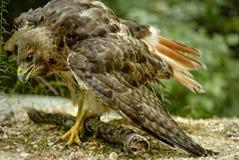 faucon Rouge-coupé la queue Image libre de droits