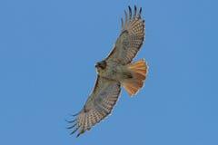 faucon Rouge-coupé la queue Photo stock