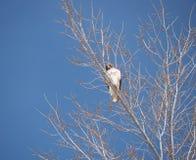 Faucon Rouge-coupé la queue dans un arbre Image libre de droits