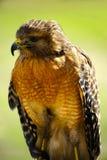 Faucon rouge d'épaule Image stock