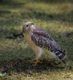 Faucon rouge d'épaule sur la terre recherchant Photos libres de droits