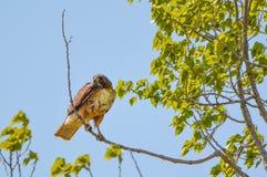 Faucon rouge d'arrière Photo stock