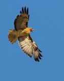 Faucon rouge d'arrière Photo libre de droits