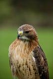 Faucon rouge de queue Photos stock