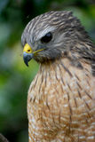 Faucon rouge oriental d'épaule Image stock