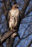 Faucon rouge oriental #1 de queue Images libres de droits