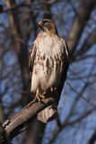 Faucon rouge oriental #2 de queue Image stock