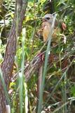 faucon Rouge-épaulé (lineatus de Buteo) Photos libres de droits