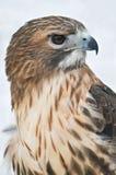 faucon Rouge-suivi Photographie stock