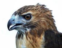 faucon rouge-suivi Photo libre de droits
