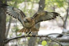faucon rouge-suivi Image stock
