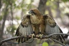 faucon rouge-suivi Photographie stock libre de droits