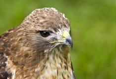 faucon Rouge-suivi (jamaicensis de Buteo) photos stock
