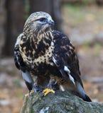 Faucon Rough-legged Photo libre de droits