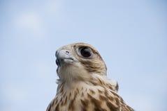 Faucon sauvage Image libre de droits