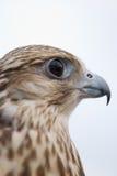 Faucon sauvage Photo stock