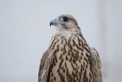 Faucon sauvage Photo libre de droits