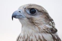 Faucon sauvage Photographie stock libre de droits