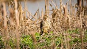 Faucon sauvage au sol, image de couleur Images stock