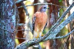 Faucon se tenant avec des ailes fermées Photo libre de droits