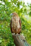 Faucon se tenant sur un tronçon d'arbre Image stock