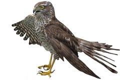 Faucon spécifiant une aile sur quelque chose Image libre de droits