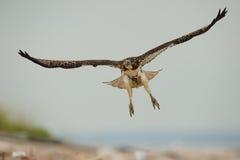 Faucon suivi par rouge en vol Images stock