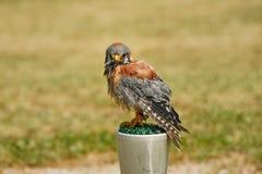 Faucon suivi rouge Photo libre de droits