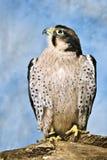Faucon suivi rouge Image stock