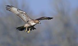 Faucon suivi rouge en vol Images libres de droits