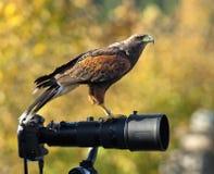 Faucon sur un lense Images libres de droits