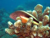 Faucon tacheté Paracirrhites forsteri - Piegowaty hawkfish - zdjęcia royalty free