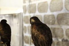 Fauconnerie sauvage d'aigle photos stock