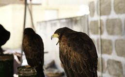 Fauconnerie sauvage d'aigle image stock