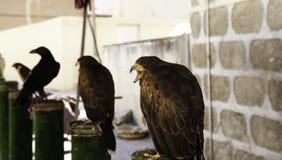 Fauconnerie sauvage d'aigle photographie stock